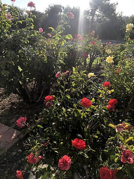 10 roses.jpg